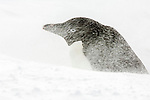 An Adelie penguin (Pygoscelis adeliae)  is barely visible during a blizzard, Brown Bluff, Tabarin Peninsula, Antarctica