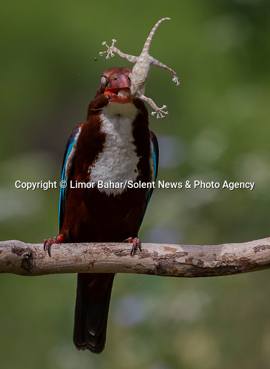 """This unfortunate gecko is suspended in midair as a hungry kingfisher catches its supper. The unusual scene was caught by amateur photographer Limor Bahar in Israel. <br /> <br /> Ms Bahar, 49, said """"The white throat kingfisher was proudly exhibiting his kill before taking it to its youngling off camera"""".<br /> <br /> Please byline: Limor Bahar/Solent News<br /> <br /> © Limor Bahar/Solent News & Photo Agency<br /> UK +44 (0) 2380 458800"""