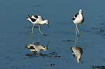 American Avocets, Winter Plumage,  Newport Back Bay, California