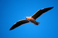 western gull, dult, .Larus occidentalis, .San Diego, California.