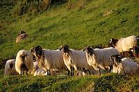 Europe/France/Aquitaine/64/Pyrénées-Atlantiques/Plateau d'Iraty: Les brebis à tête noire (race basco béarnaise) de Jean Patalagoity au cayolar de Ugatze