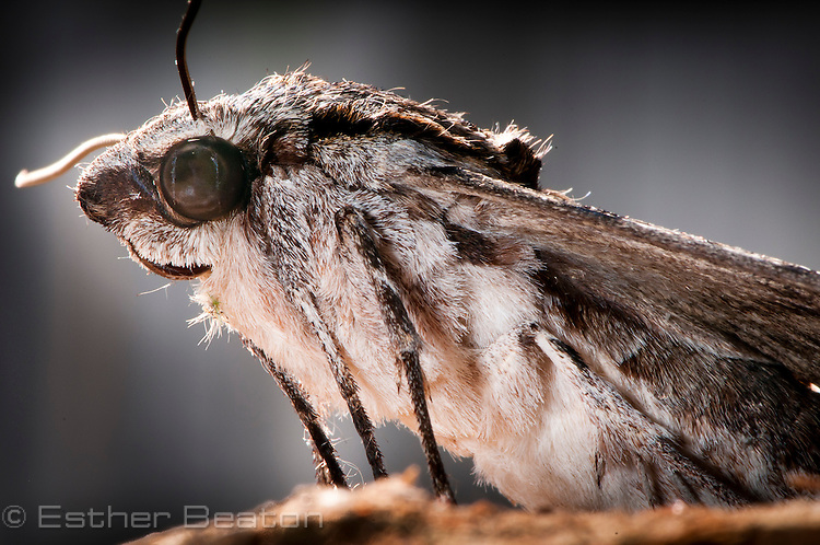 Wood Moth, female (possibly Endoxyla polyploca). Bores into eucalypt trees; caterpillar is a Witchetty Grub. Central Coast, New South Wales