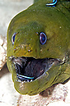 Green Moray being cleaned by Neon Goby