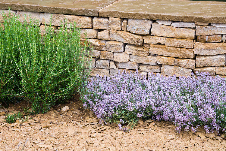 Dry garden plantings of herbs in gravel sandy soil Mediterranean style garden with stone wall, Rosmarinus rosemary and Thymus thyme, culinary herbs, edible landscaping