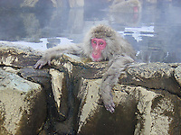A Japanese macaque monkey chills out in a hot spring to get away from the snow & cold.