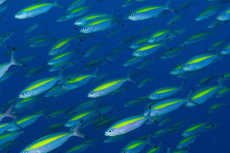 Wide band fusilier schools (Pterocaesio lativittata) school, Fathers reefs, Kimbe Bay