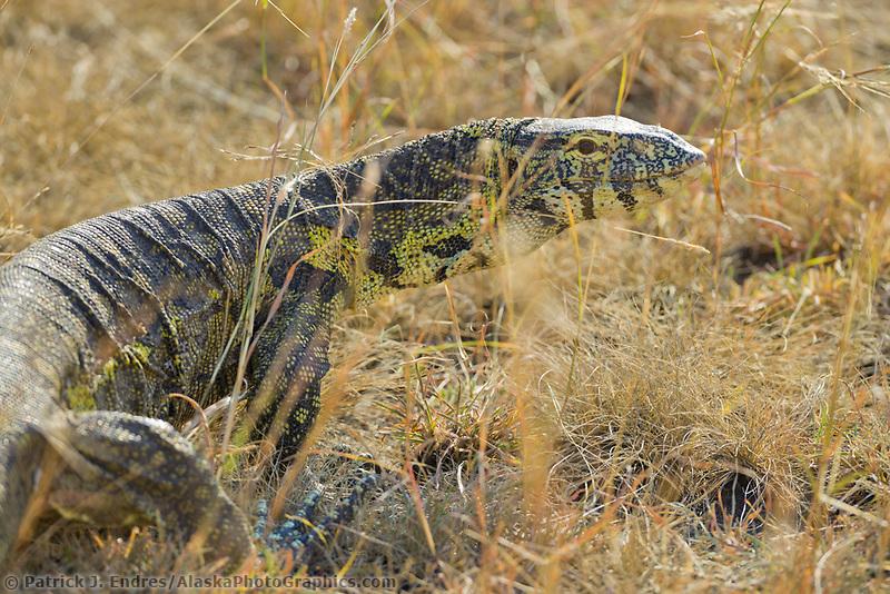 Monitor Lizard, Queen Elizabeth National Park, Uganda, East Africa