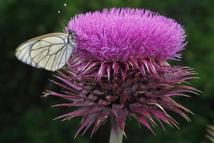 Black-veined White butterfly, Aporia crataegi, on thistle, Cirsium sp., <br /> Stenje region, Lake Macro Prespa (850m) <br /> Galicica National Park, Macedonia, June 2009<br /> Mission: Macedonia, Lake Macro Prespa /  Lake Ohrid, Transnational Park<br /> David Maitland / Wild Wonders of Europe