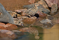 574470031 a gambel's quail chick drink from a small pond in green valley arizona united states