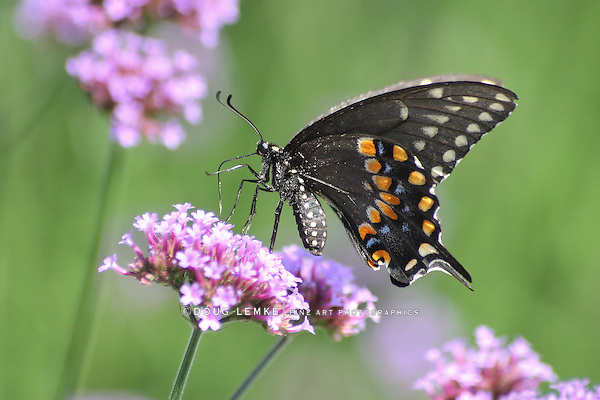 A Galloping Butterfly Against A Green Background, The Black Swallowtail On Brazilian Verbena, Papilio polyxenes Fabricius