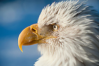 Bald eagles, Kachemak Bay, Alaska, USA