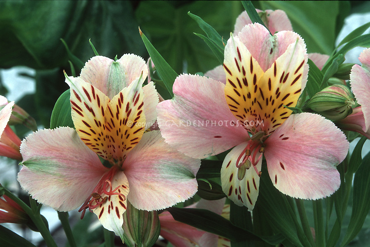 Alstroemeria Diana, Princess of Wales summer flowering bulb named for Princess Diana
