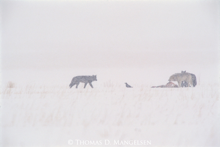 Ravens and wolves at an elk carcass on the National Elk Refuge in Jackson Hole, Wyoming.