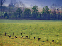 Whitetail Deer graze in a meadow in Cades Cove, a historic restoration of a mountain community in Great Smoky Mountains National Park in Tennessee