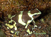 0930-07ss  Dendrobates auratus ñ Green and Black Arrow Frog ñ Green and Black Dart Frog  © David Kuhn/Dwight Kuhn Photography