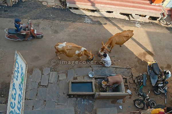 India, Karnataka, Mysore 2005. Feeding cattle in Mysore city centre - some cattle / cows is still kept (day and night) within the centre of indian cities .