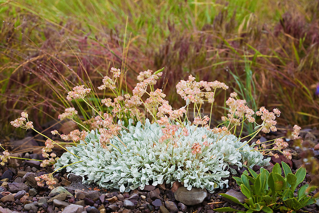 Buckwheat plant and flowers wet with rain  in western Montana