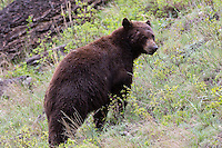 "Black bears come in various colors, despite their name. This reddish hue is called ""cinnamon"". You might also see them as even more reddish, brown or in remote places they may even appear to be white."