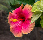 A red-orange hibiscus flower photographed in Kihei, Maui
