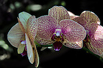 One of the beautiful orchids on display at the Botanical Gardens in Balboa Park, San Diego CA.