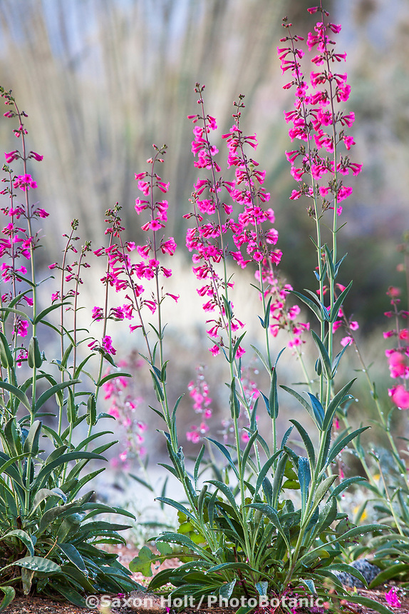 Penstemon parryi Parry's Penstemon Sonora Desert native wildflower flowering in Living Desert Garden, Palm Springs, California.