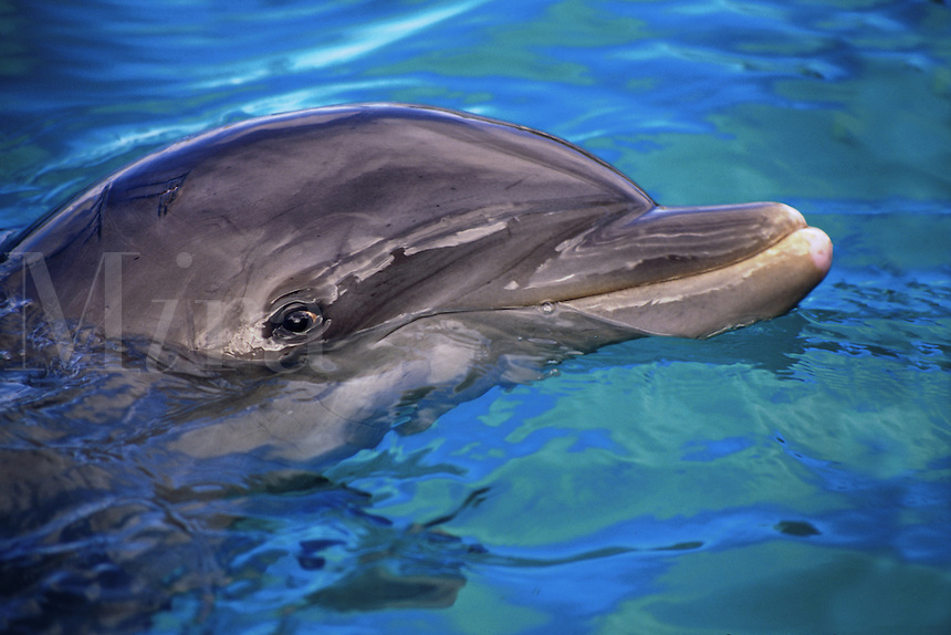 Atlantic bottlenose dolphin [Tursiops truncatus] are at risk in some areas due to disappearing habitat, fishery conflicts, pollution and overkilling. Hawaii