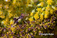 AM01-546z  Ambush Bug camouflaged on goldenrod, Phymata americana