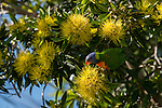 Rainbow Lorikeet (Trichoglossus haematodus) eating nectar from golden penda flowers.