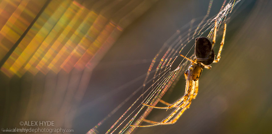 Longjawed Orbweaver {Metellina segmentata} in web at sunset, showing refraction of light by silk. Dunwich Heath, Suffolk, UK. September.