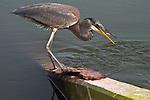 Immature TriColor Heron along the 8 mile loop road thru the Brigantine saltmarsh NJ