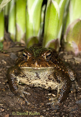 0304-0932  American Toad Grass in Garden, © David Kuhn/Dwight Kuhn Photography, Anaxyrus americanus, formerly Bufo americanus