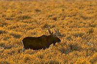 Bull Moose feeding out on sage flats near sunset.  Grand Teton National Park, Wyoming.   Snow.  Winter.