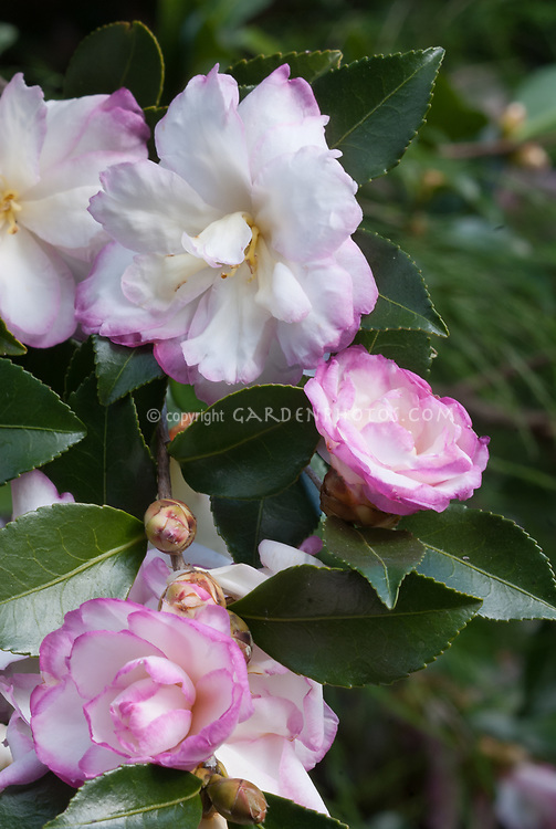 Camellia sasanqua 'Leslie Ann' in autumn bloom, picotee white with pink edges flower