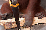 Bornean Orangutan (Pongo pygmaeus wurmbii) - Siswi the Queen of the jungle of Camp Leakey saws a piece of firewood.