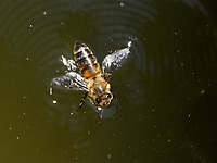 A bee is swimming on the water at the water point.