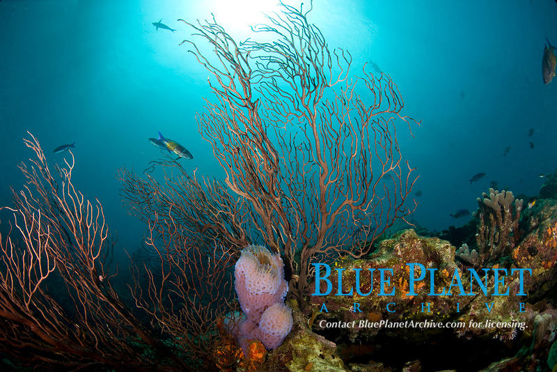Reef scene with fan coral and Azure vase sponge, Callyspongia plicifera, St. Lucia, Caribbean, Atlantic