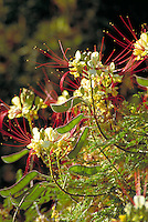 Bird-of-Paradise, Caesalpinia gilliesii (Pea family). Close-up of early morning sun shining through the blossoms and seed pods. desert vegitation, flowering plants, shrubs. Bird-of-Paradise. Arizona.