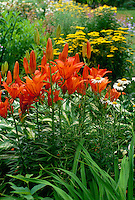Tiger Lilies and Variegated Hostas in blooming summer garden, Midwest, USA.