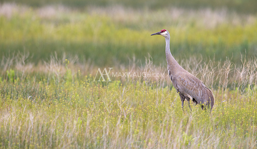 Sandhill cranes were a common sight during my spring adventures in Idaho and Yellowstone this year.