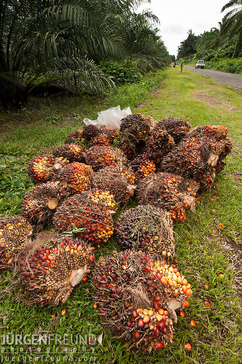 Palm fruits (Elaeis quineesis Jacq) red and yellow fruit bunches are piled high ready for the mill trucks to pick up. New Britain Palm Oil Limited