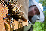 Honey Bees fanning at hive entrance, Apis mellifera, Kent UK, bee keeper watching, bees raise their abdomen into the air, the workers expose a white-tip called a Nasonov gland. This gland releases pheromones into the air communicating to the other bees