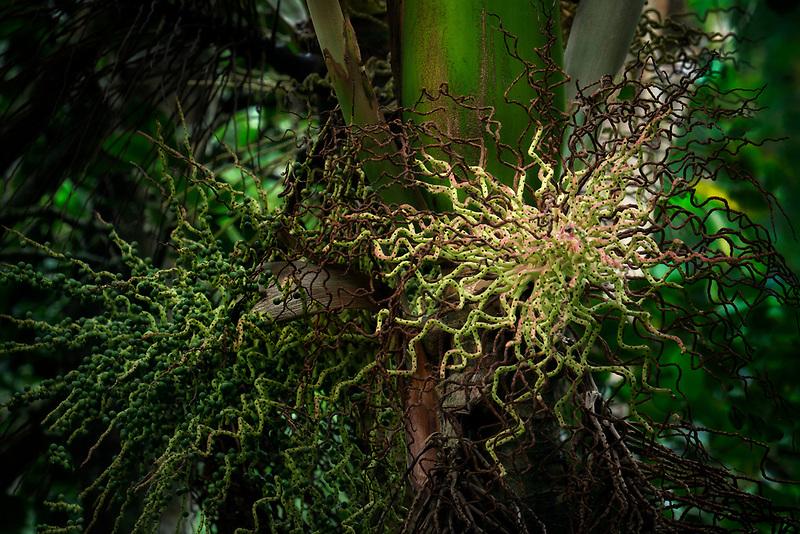 Close up of Prestoea Montana tree. Hoomaluhia Botanical Gardens. Oahu, Hawaii