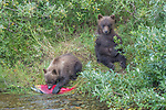 USA, Alaska, Katmai National Park, brown bear (Ursus arctos) cub eats sockeye salmon (Oncorhynchus nerka)