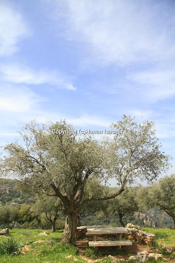Israel, Upper Galilee, Olive trees overlooking Nahal Kziv