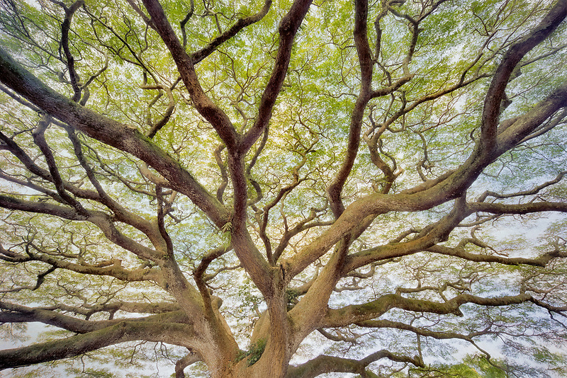 Large wildly branching tree. Hawaii, The Big Island