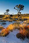 Rare winter snowfall on desert floor, Joshua Tree National Park, California