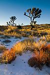 Rare winter snowfall on desert floor, Joshua Tree National Park, California