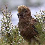 Kea in the snow