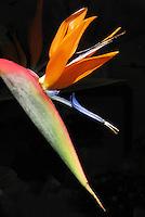 Flores. Estrelítzia, flor-ave-do-paraizo ( Strelitzia reginae). SP. Foto de Manuel Lourenço.