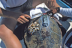 Attaching Satellite Tag To Loggerhead Sea Turtle